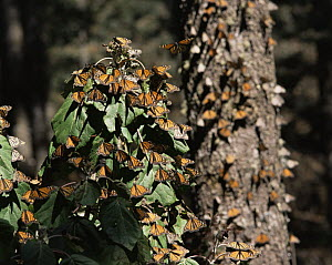 Monarch Butterflies (Danaus plexippus) flying and landing on trees beneath a coniferous forest, Sierra Chincua Monarch Butterfly Biosphere Reserve, Michoacan, Mexico, Central America - Jack Dykinga