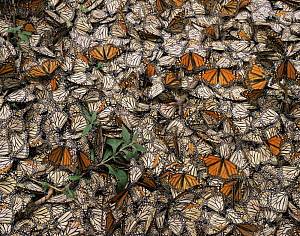 Dead Monarch Butterflies (Danaus plexippus) lying on the ground, killed by a January freeze. Sierra Chincua Monarch Butterfly Biosphere Reserve, Michoacan, Mexico, Central America - Jack Dykinga