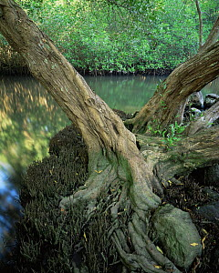 Trunk and roots of a White Mangrove (Laguncularia racemosa) with Red Mangroves (Rhizophora mangle) lining the water in the background, La Tovara Wetlands, San Blas, Mexico, Central America - Jack Dykinga