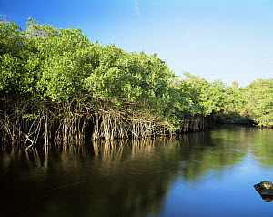 Red Mangroves (Rhizophora mangle) lining the brackish water of the La Tovara Wetlands, San Blas, Mexico, Central America - Jack Dykinga