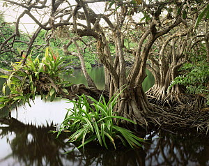 Anonilla (Rollinia jimenezii) and Crinum Lilies (Crinum scabrum) in the roots of a Mangrove (Rhizophora mangle), with Bromeliads (Bromeliaceae) growing in the branches, La Tovara Wetlands, San Blas, M... - Jack Dykinga