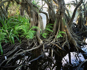 Anonilla (Rollinia jimenezii), Crinum Lilies (Crinum scabrum) and ferns (Thelypteris sp) in the roots of a Mangrove (Rhizophora mangle), La Tovara Wetlands, San Blas, Mexico, Central America - Jack Dykinga
