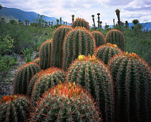 Clusters of Barrel Cacti (Ferocactus stainesii) and Yuccas (Yucca sp) with the Sierra Madre in the background, Chihuahuan Desert, Mexico, Central America  -  Jack Dykinga