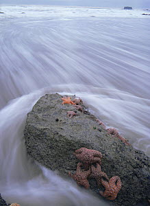 Incoming tide surging around Starfish (Asteroidea) clinging to a rock, Toleak Point, Olympic NP, Washington, USA  -  Kirkendall-Spring
