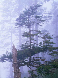 Trees of a coniferous forest in the morning mist, Olympic NP, Washington, USA  -  Kirkendall-Spring