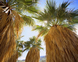 California Fan Palm trees {Washingtonia} with the sun shining through the top leaves, Anza-Borrego Desert State Park, California, USA - Kirkendall-Spring