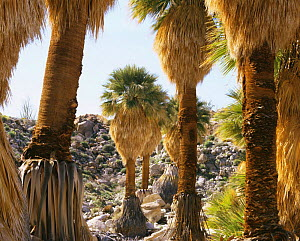 California Fan Palm trees {Washingtonia} in Mary's Grove, Anza-Borrego Desert State Park, California, USA - Kirkendall-Spring