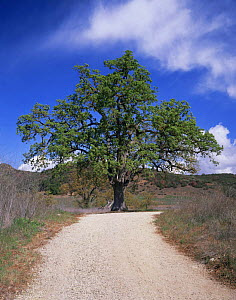 Oak Tree {Quercus sp} growing at Paramount Ranch, Santa Monica Mountains National Recreation Area, California, USA  -  Kirkendall-Spring