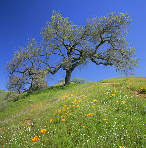 Oak Tree {Quercus sp} in a meadow amid California Poppies {Eschscholzia californica}, Henry W. Coe State Park, California, USA  -  Kirkendall-Spring