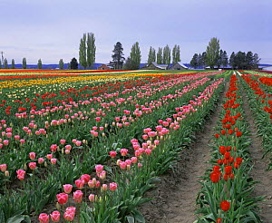 Rows of different coloured cultivated Tulips {Tulipa genus} growing in Tulip Town, Skagit Valley, Washington, USA - Kirkendall-Spring