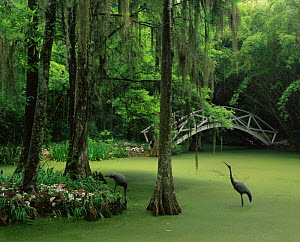 Algae covered swamp with ornamental birds and bridge, Magnolia Plantation Gardens, South Carolina, USA - Kirkendall-Spring