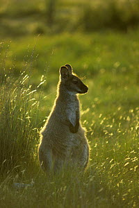 Bennett's / Red-necked Wallaby {Macropus rufogriseus} Australia  -  Dave Watts