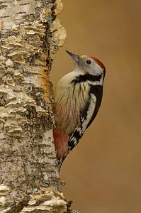 Middle Spotted Woodpecker {Dendrocopus medius} France  -  Dave Watts