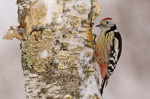 Middle Spotted Woodpecker {Dendrocopus medius} in snow, France  -  Dave Watts