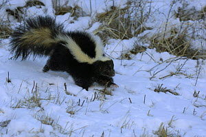 Striped Skunk {Mephitis mephitis} in snow, USA - Dave Watts