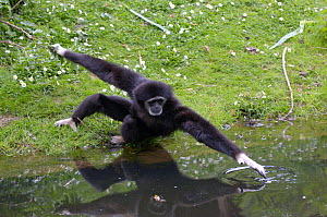 White-handed Gibbon {Hylobates lar} reaching over water, Captive  -  Dave Watts