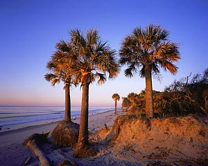 Cabbage Palmetto Trees {Sabal palmetto} on the beach at sunset, Hunting Island State Park, South Carolina, USA  -  Kirkendall-Spring