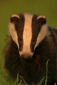 Badger cub {Meles meles} head portrait in evening light, Derbyshire, UK  -  Andrew Parkinson