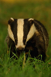 Young adult Badger {Meles meles} in evening light, Derbyshire, UK  -  Andrew Parkinson