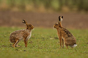 A male and female Brown / European hare {Lepus europaeus} pause after boxing, Derbyshire, UK  -  Andrew Parkinson