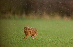 Adult Brown / European hare {Lepus europaeus} runs to the shelter of a hedgerow to escape an April shower, Derbyshire, UK  -  Andrew Parkinson