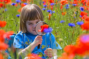 Young girl looking at Common poppy {Papaver rhoeas} through magnifying glass, Scotland, UK, June  -  Niall Benvie