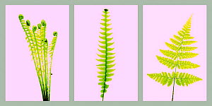 Study of different Fern speices fronds, Ostrich plume {Matteuccia struthiopteris}, Hard fern {Blechnum spicant} and Broad buckler fern {Dryopteris dilatata} on pink background  -  Niall Benvie