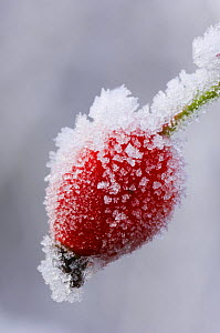 Dog rose hip {Rosa canina} covered in frost, Angus, Scotland, UK  -  Niall Benvie