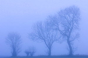 Ash trees {Fraxinus excelsior} silhouetted in hedgerow in morning fog, Scotland, UK  -  Niall Benvie