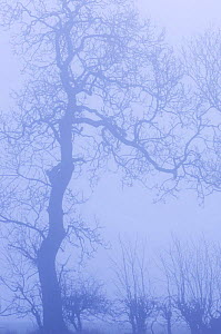 Hedgerow with Ash tree {Fraxinus excelsior} silhouetted in morning fog, Scotland, UK  -  Niall Benvie