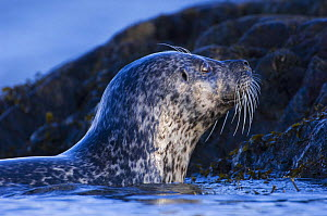 Common seal {Phoca vitulina} coming out of sea at haul out site, Islay, Argyll, Scotland, UK. February  -  Niall Benvie