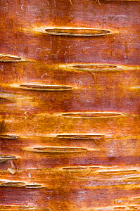 Detail of silver birch bark {Betula verrucosa}, May, Songli, S�r-Tr�ndelag, Norway - Niall Benvie