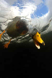 Male Mallard {Anas platyrhynchos} looking underwater for food, UK, 2006 - Graham Eaton
