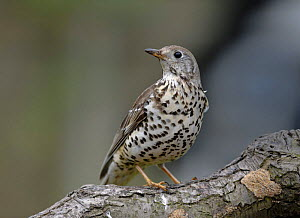 Mistle Thrush (Turdus viscivorus) UK 2007  -  Graham Eaton