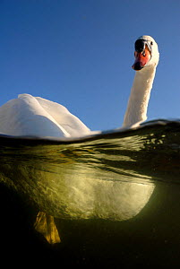 Mute Swan {Cygnus olor} split level, UK, 2006 - Graham Eaton
