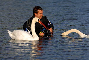 Graham Eaton photographing Mute swan {Cygnus olor} with underwater camera, Wales, UK, 2006 - Graham Eaton