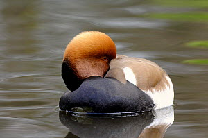Red crested Pochard (Netta rufina) with head tucked under wing, UK, 2007. Captive bird.  -  Graham Eaton