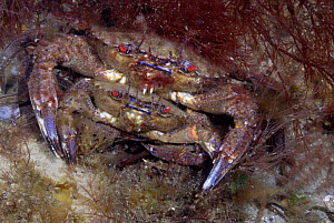 Male Velvet Swimming Crab (Liocarcinus / Necora puber) clasping smaller female prior to mating, Wales, UK 2007  -  Graham Eaton