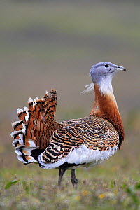 Great bustard male {Otis tarda} Castuera, La Serena, Badajoz, Extremadura, Spain April 2007 - Jose B. Ruiz