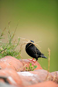 Spotless starling {Sturnus unicolor} with grass in beak, Quintana de la Serana, Badajoz, Extremadura, Spain  April  -  Jose B. Ruiz