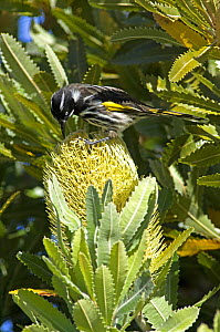 Yellow winged / New Holland Honeyeater {Phylidonyris novaehollandiae canescens} feeding on Banksia flower, Autumn, Bruny Island, Tasmania, Australia  -  Steven David Miller