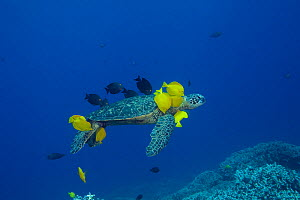 RF- Green sea turtle (Chelonia mydas) being cleaned by herbivorous cleaner fish species Yellow tangs (Zebrasoma flavescens) and Gold-ring surgeonfish (Ctenochaetus strigosus) that graze algae on turtl... - Doug Perrine