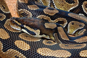 Royal / ball python {Python regius} captive. from central and west Africa.  -  Tony Phelps