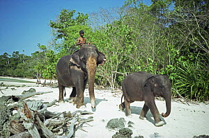Working female Indian elephant {Elephas maximus} walking along beach with her young, Havelock Is, Andaman Is, India  -  Wendy Darke