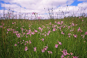 Ragged robin {Silene flos-cuculi} flowering in meadow, Aviemore, Scotland, UK  -  Brian Lightfoot