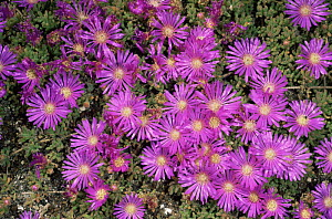 'Vygie' flowers {Ruschia sp} West Coast NP, South Africa  -  Pete Oxford