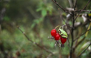 Japanese tree frog {Hyla japonica} on red berries, Ussuriland, Primorsky, Russia - Yuri Shibnev
