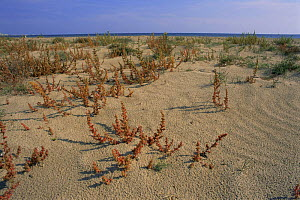 Saltwort plants {Salsola kali} growing on sand dunes, Alicante, Spain  -  Jose B. Ruiz