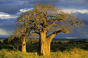 Tarangire NP, Tanzania at dusk with Baobab trees. - Francois Savigny
