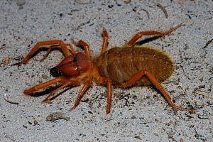 Camel / Sun spider {Solifugae} Little Karoo, South Africa  -  Tony Phelps